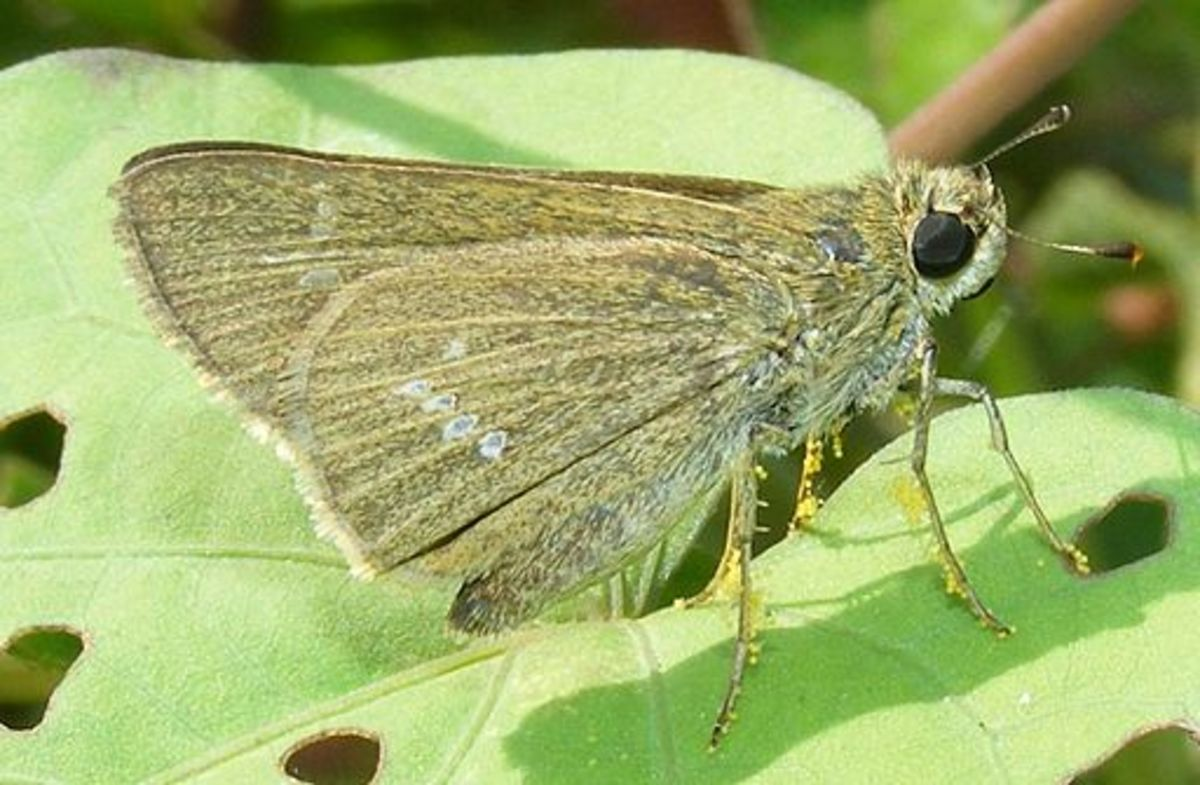 Skipper butterfly carrying a load of pollen grains
