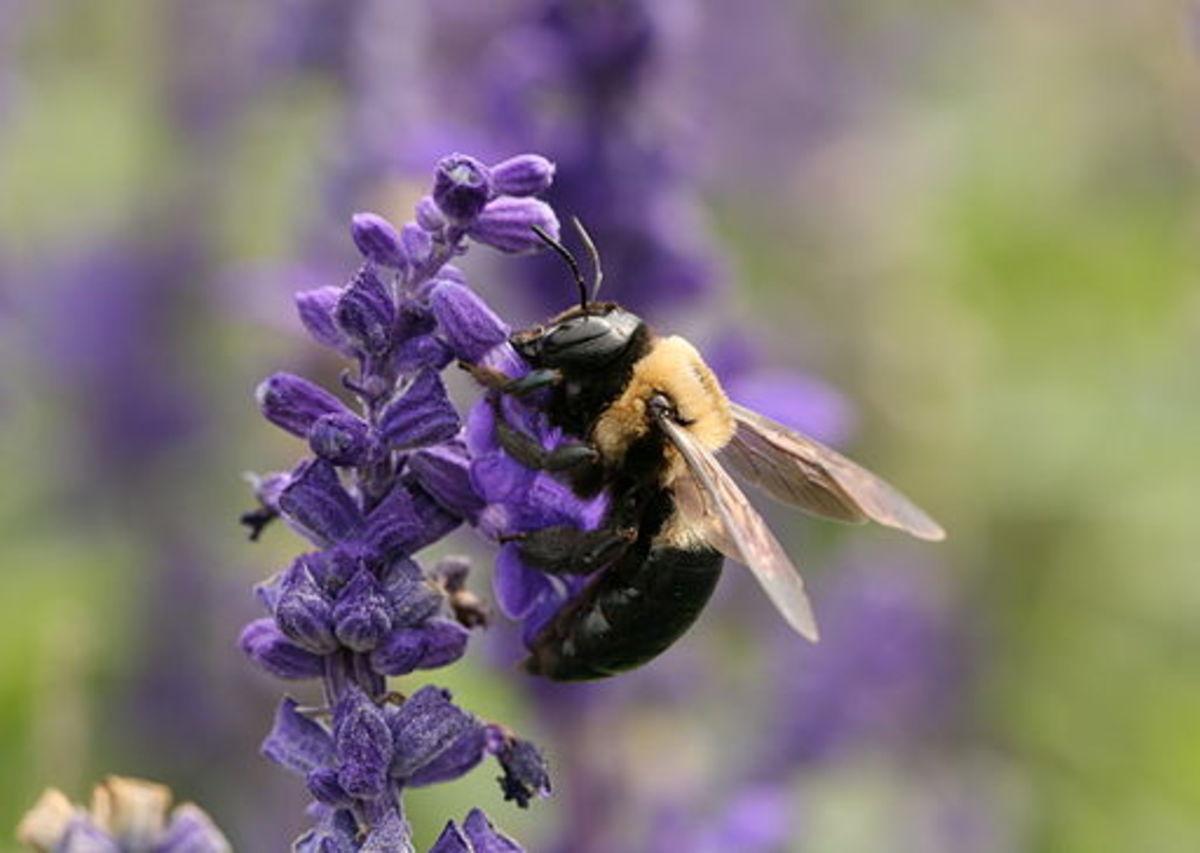 Carpenter bee (Xylocopa virginica)