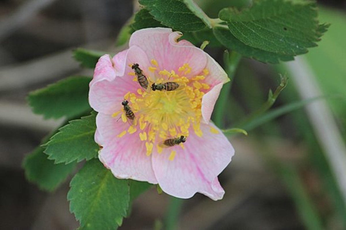 This wild prairie rose (Rosa arkansana) is being pollinated by syrphid flies