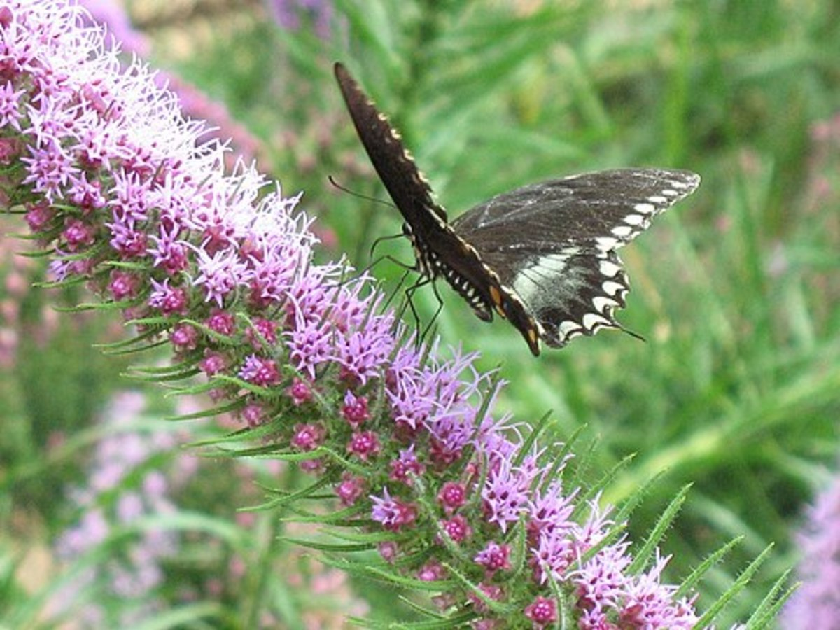 A butterfly pollinating gayfeather blooms