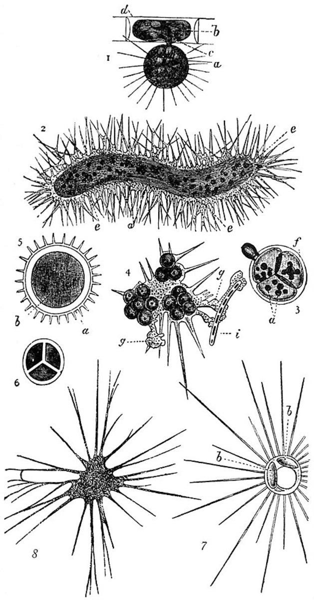 Proteomyxa (Amoeba)