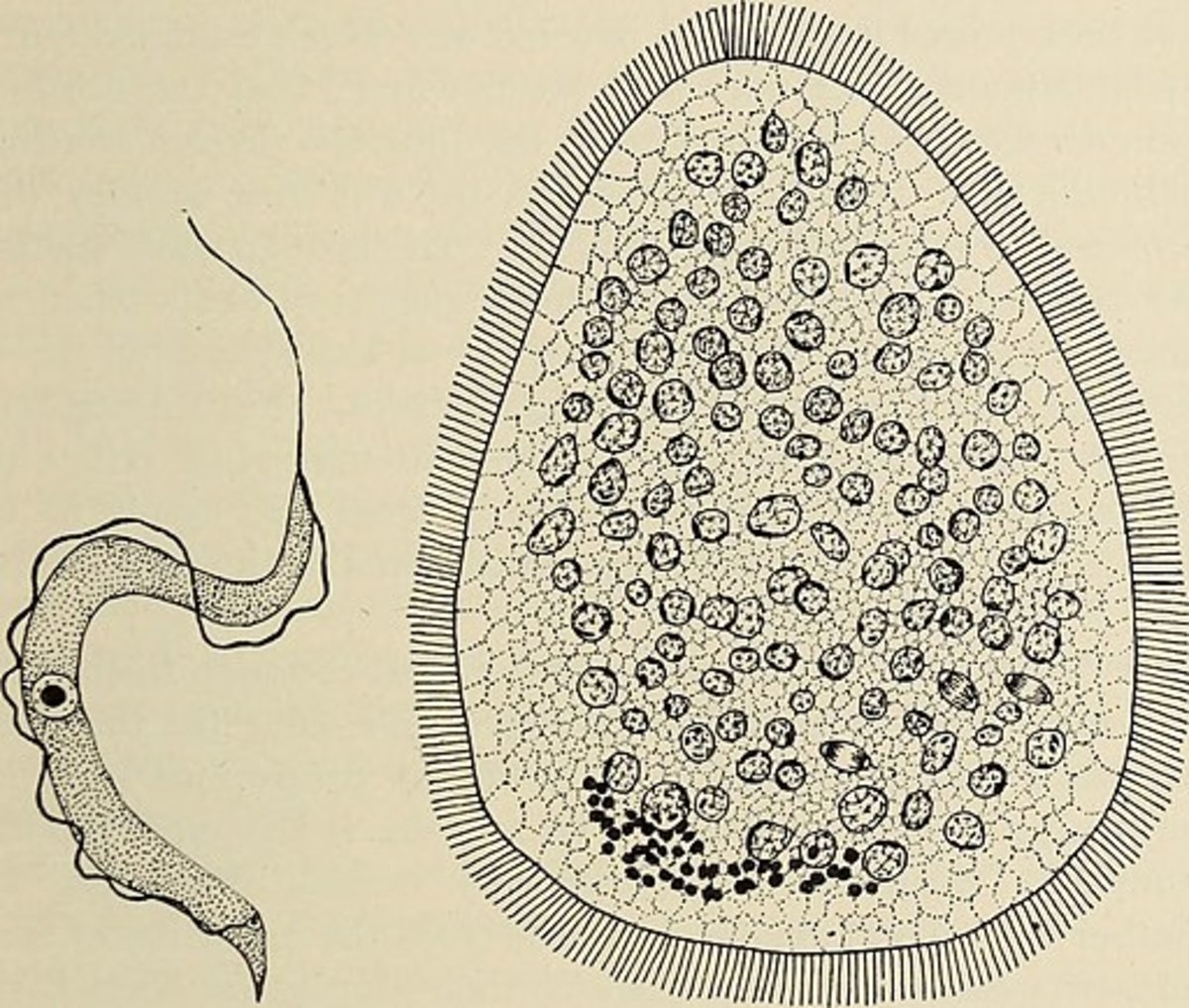 A flagellate is a type of protozoa. Wenrich (1924) reports one flagellate and seven ciliates from the skin of tadpoles, and Sassuchin (1928) has added a list of species which he has found in the slime of the tadpole skin.