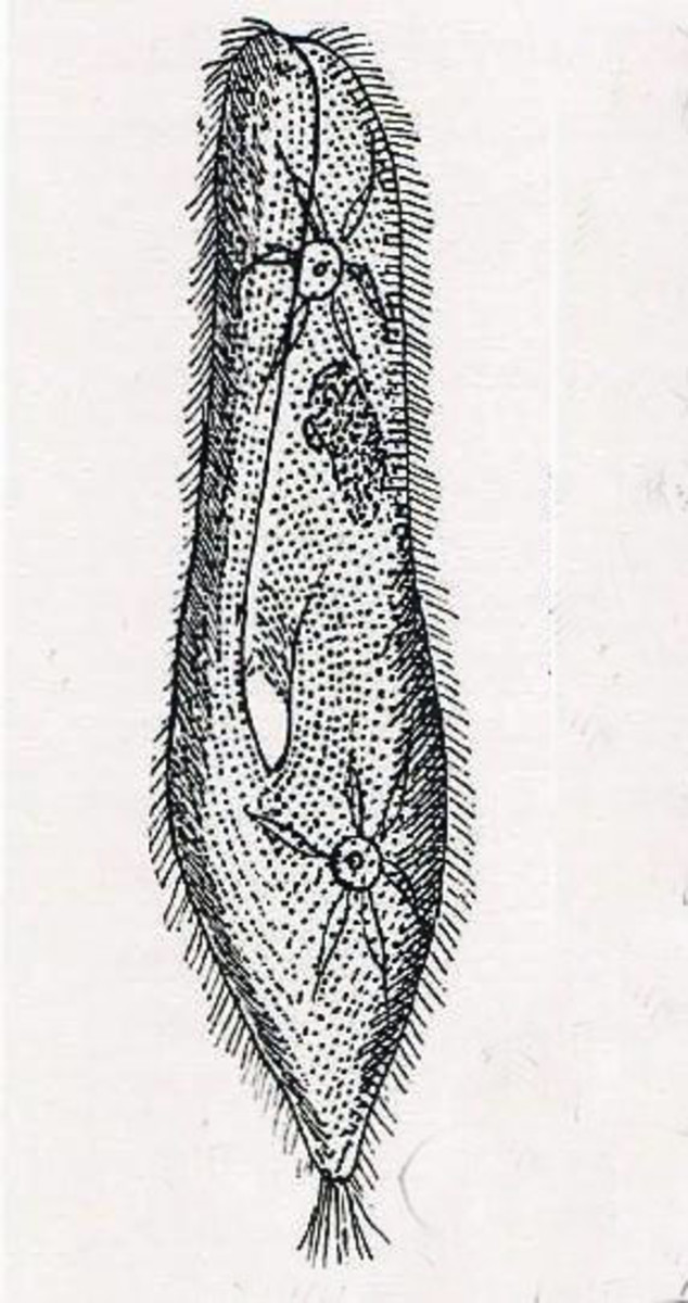The ciliated protozoan Paramecium caudatum, as drawn by Alfred Kahl.