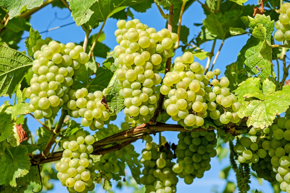 Grapes|Angoor|अंगूर