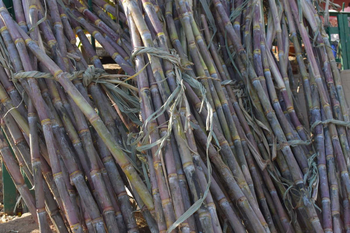 Sugarcane|Gannaa|गन्ना