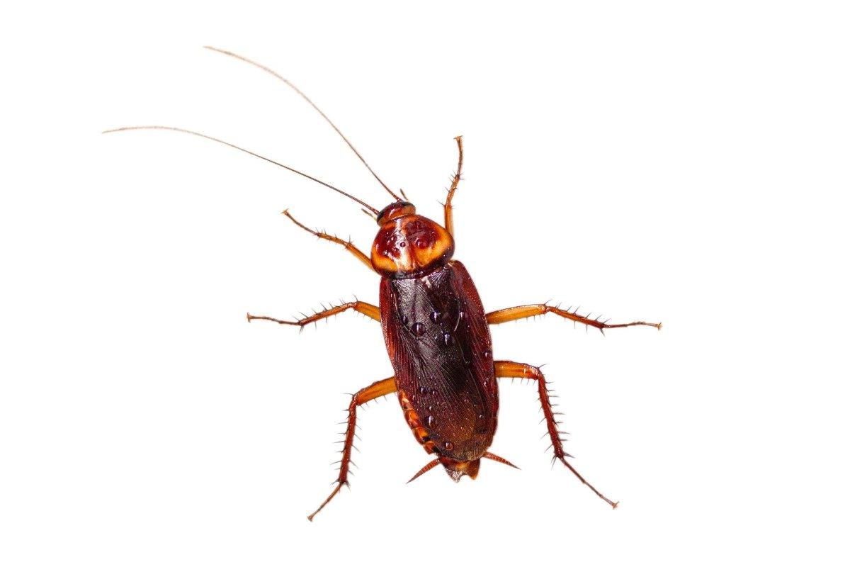 Cockroach|Tilchitta