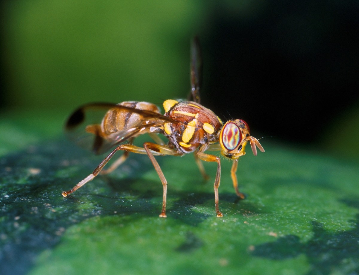Fruit Fly Fal Makhi