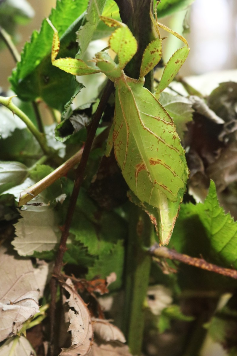 Leaf Insect|Patti Keet