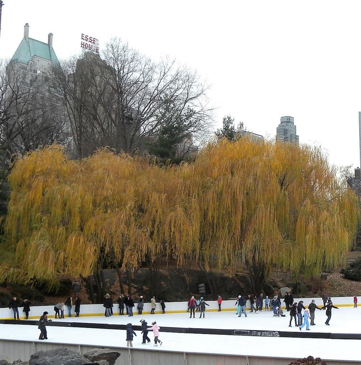A weeping golden willow