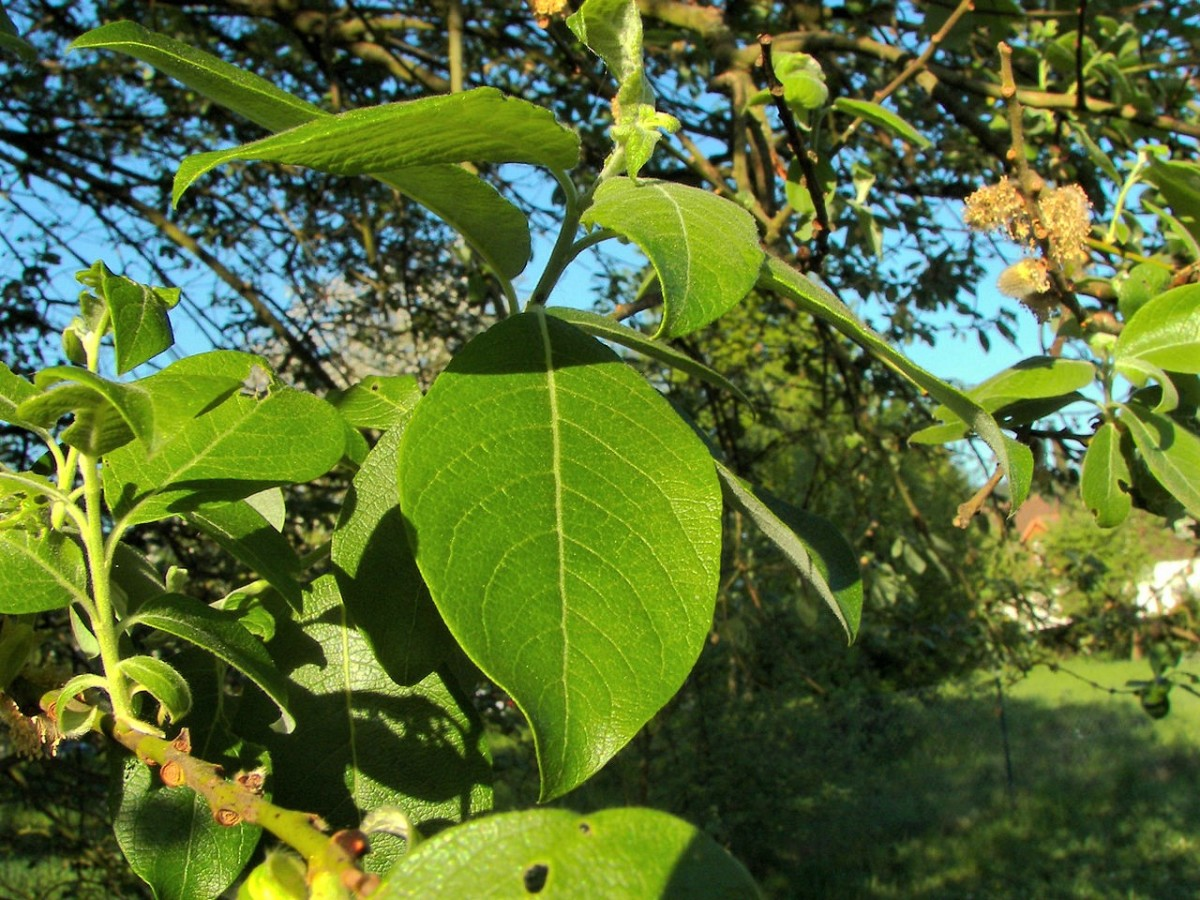 Leaves of Salix caprea