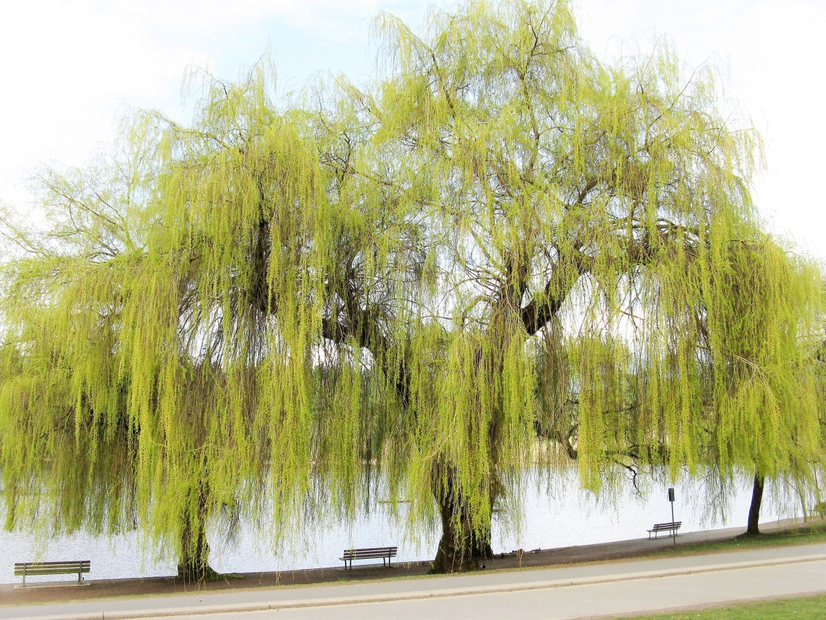 A  weeping willow tree in Vancouver in the middle of March