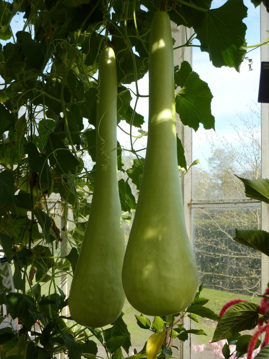 Picture for bottle gourd/flaschenkürbis
