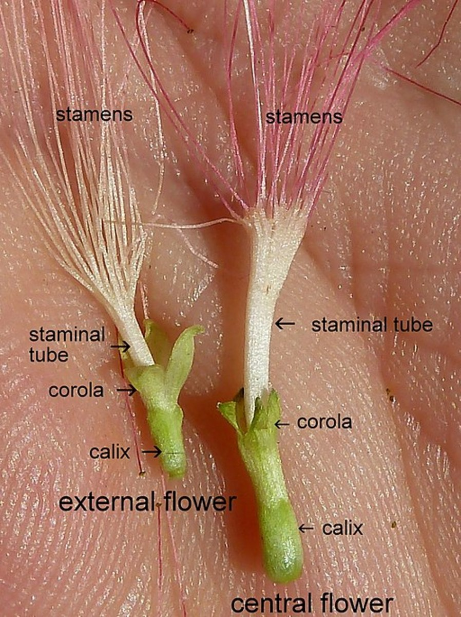 Parts of the Persian Silk Tree Flower