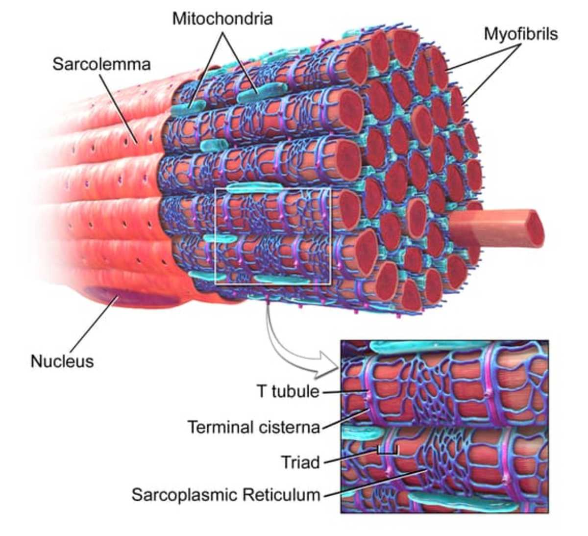 This is the structure of a skeletal muscle fibre. Look at how T-tubules are surfaced all over it. These are responsible for spreading the contraction throughout the muscle fibre.