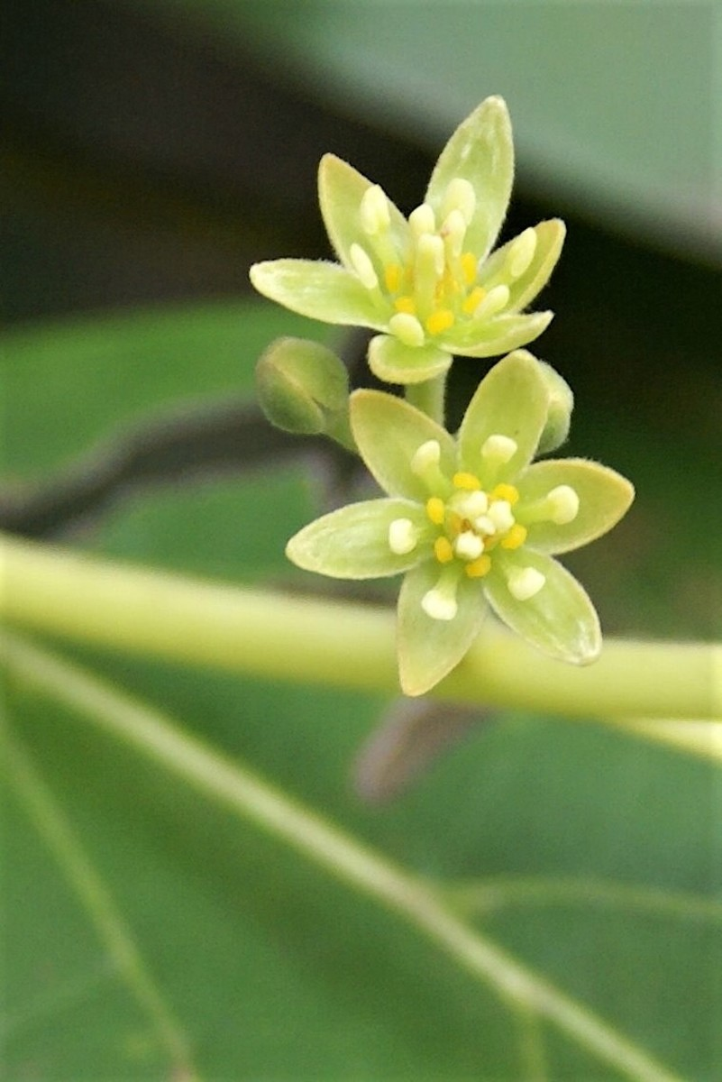 A close-up view of Persea americana flowers