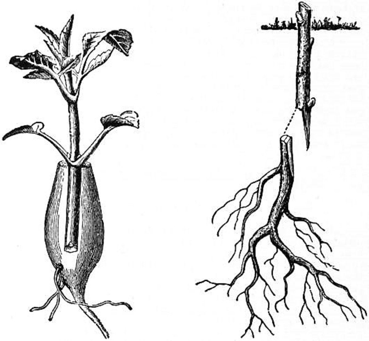 The grafting process in a dahlia and a woody plant in 1911