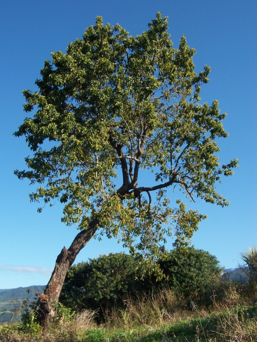 An avocado tree on Reunion Island, which is located east of Madagascar