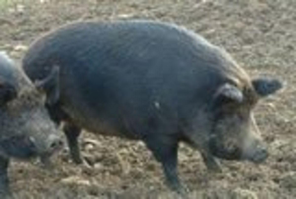 Iron Age Pig - bred for specialty meat market.