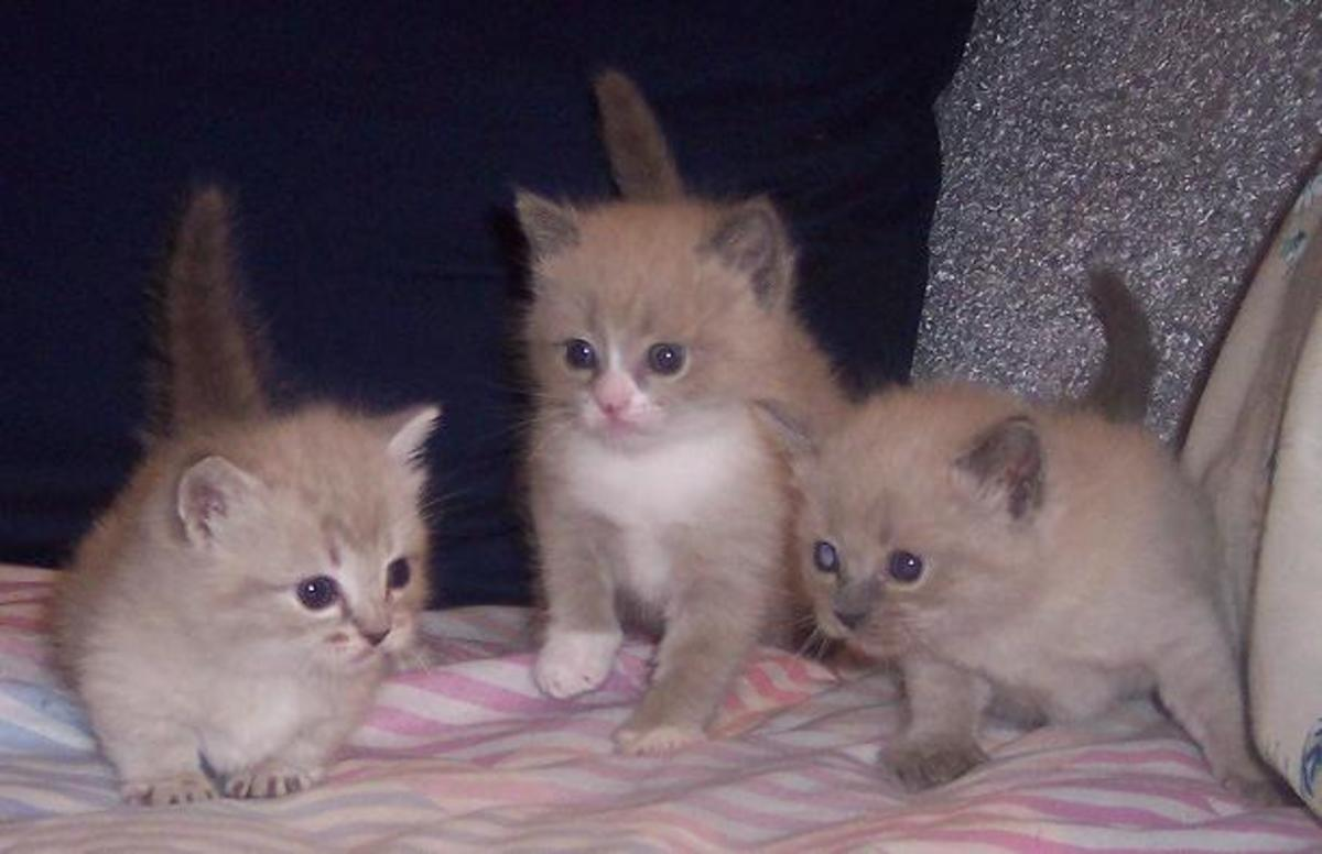 Munchkin kitten to the left of two long-legged siblings.