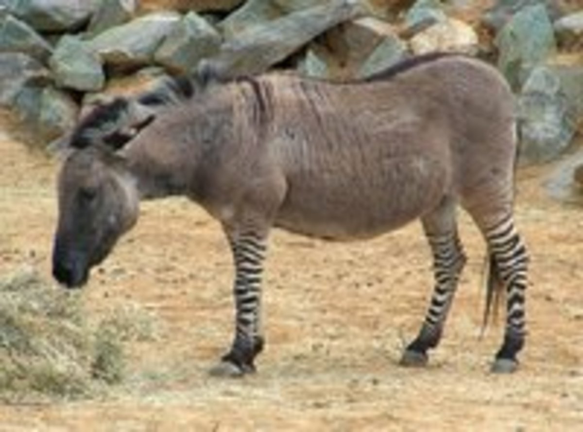 Ze-Donk at Colchester Zoo, England