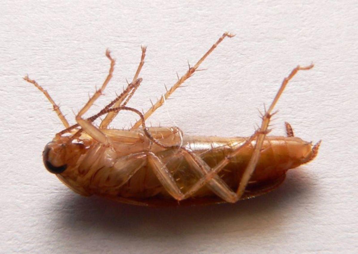 Dead German Cockroach