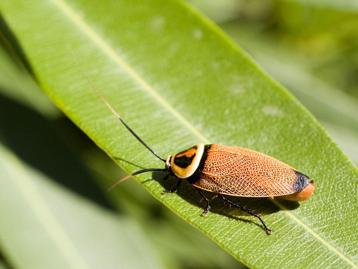 A beautiful Bush Cockroach