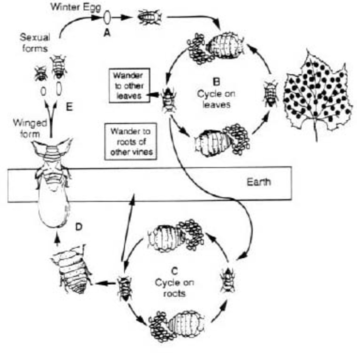 The life cycle of Phylloxera