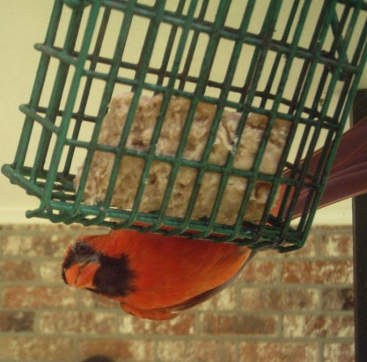 Male Cardinal eating suet