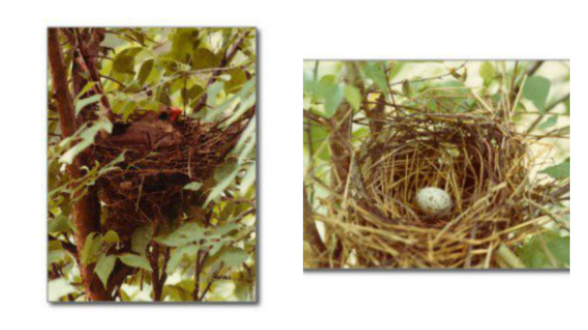Mother on nest (l); Nest with first egg (r)