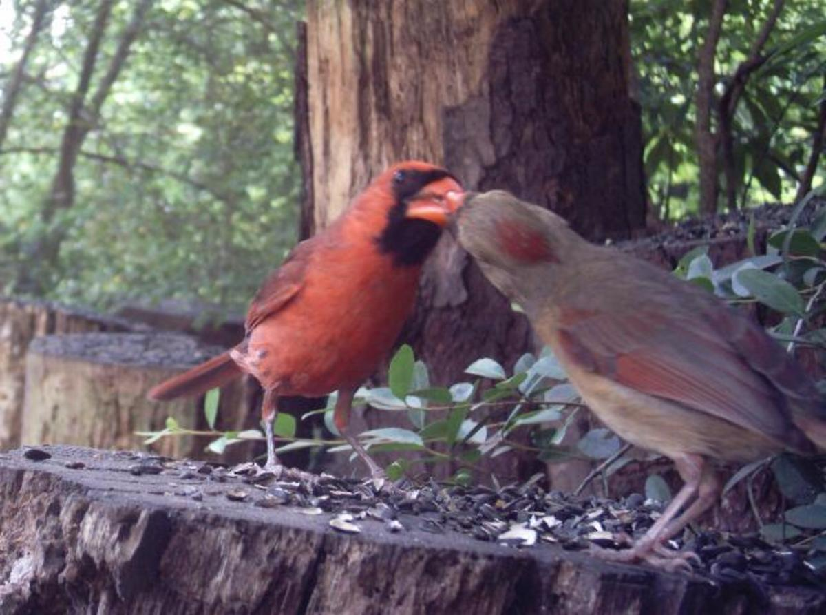 Male Cardinal feeding female