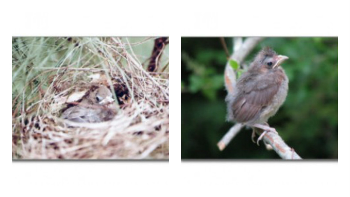 Baby who will soon fledge (l); young fledgling (r)