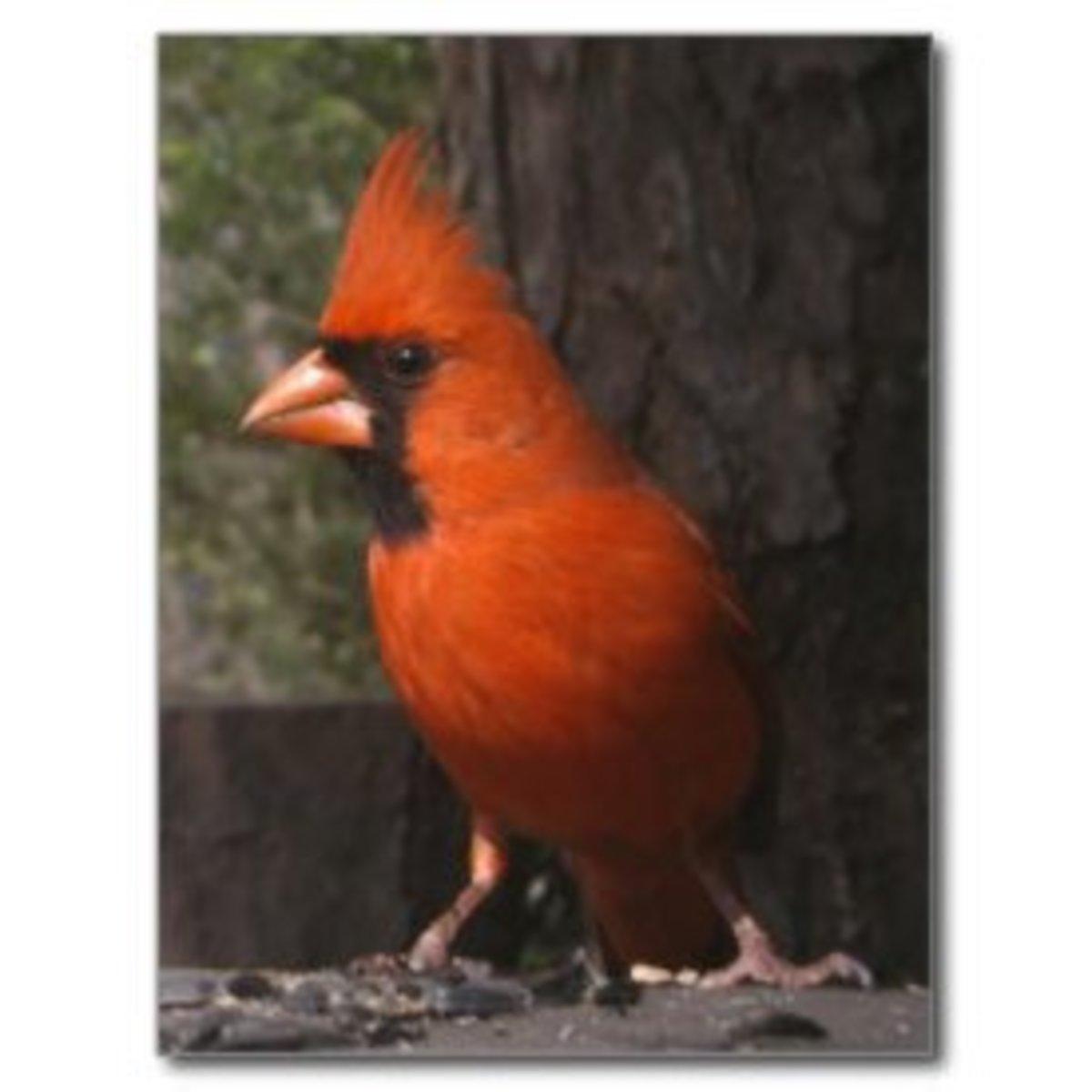 How long do cardinals live?