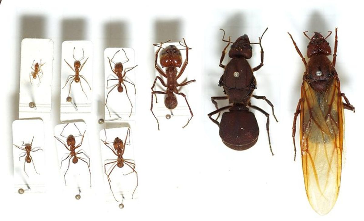 Various leafcutter ants, including two queens.