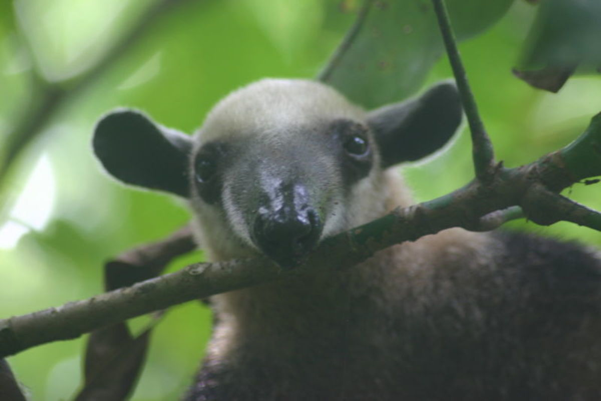 A hungry anteater.