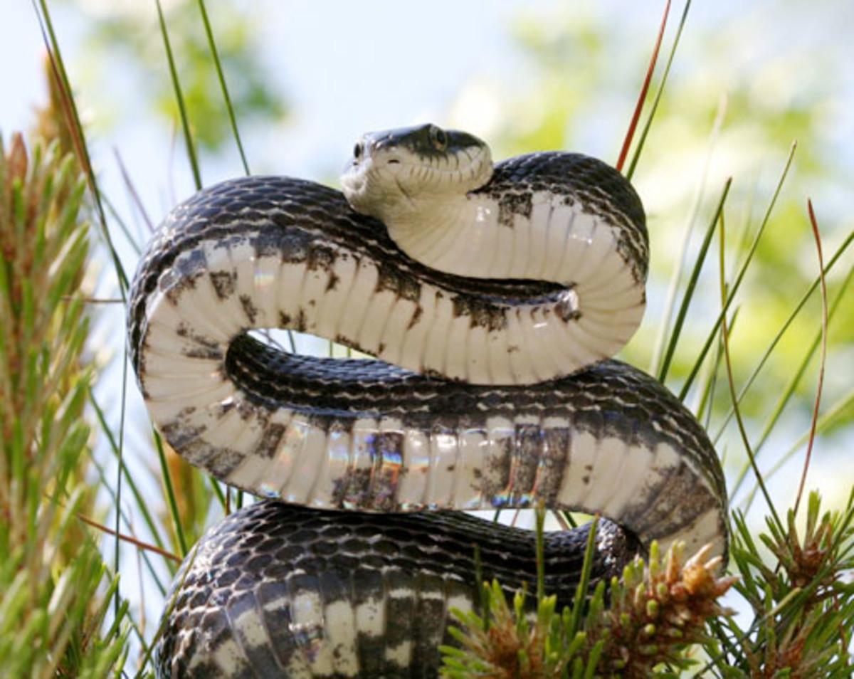 Black Rat Snake, Pantherophis obsoletus