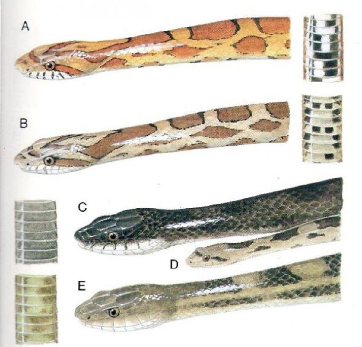 Louisiana Rat Snakes