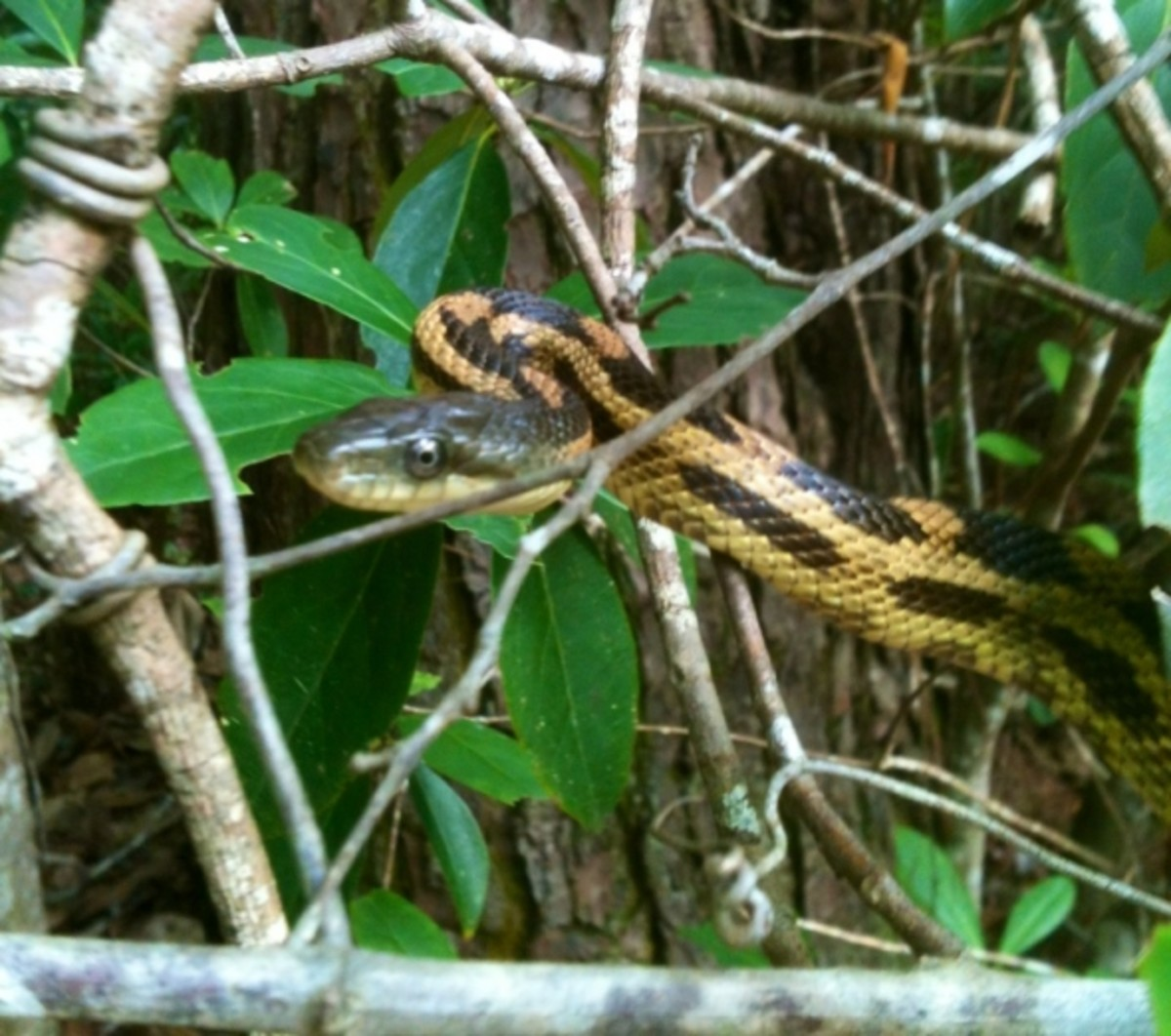 I took the Rat Snake down in the woods, far away from the house and released it in our habitat.