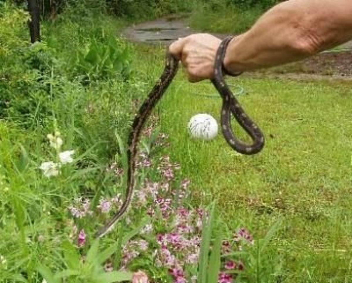 Rat Snake in hand!