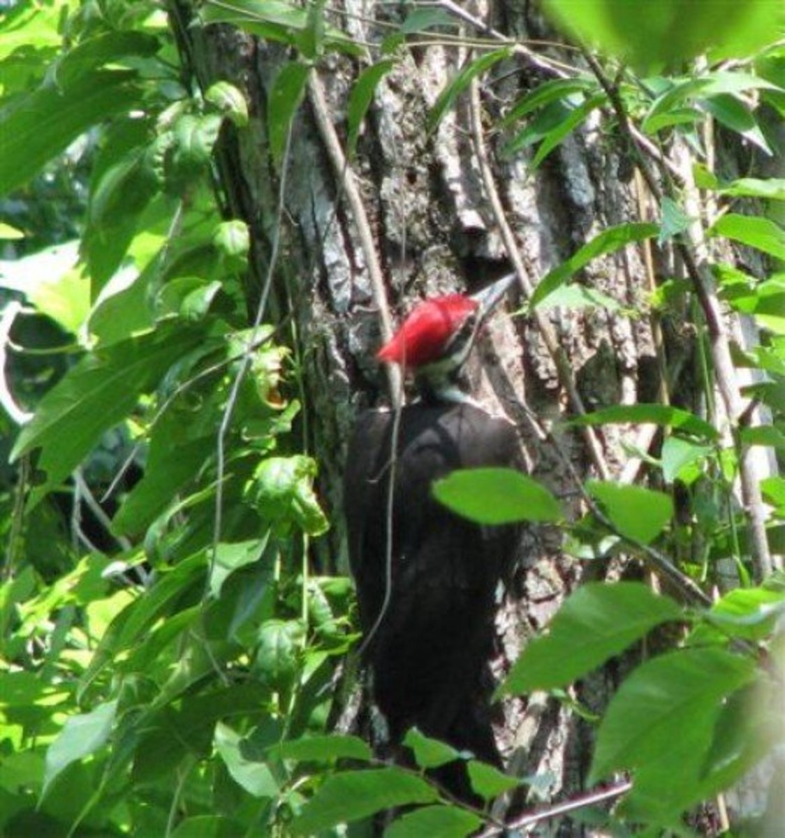 Pileated woodpeckers are large birds which are a match for rat snakes.