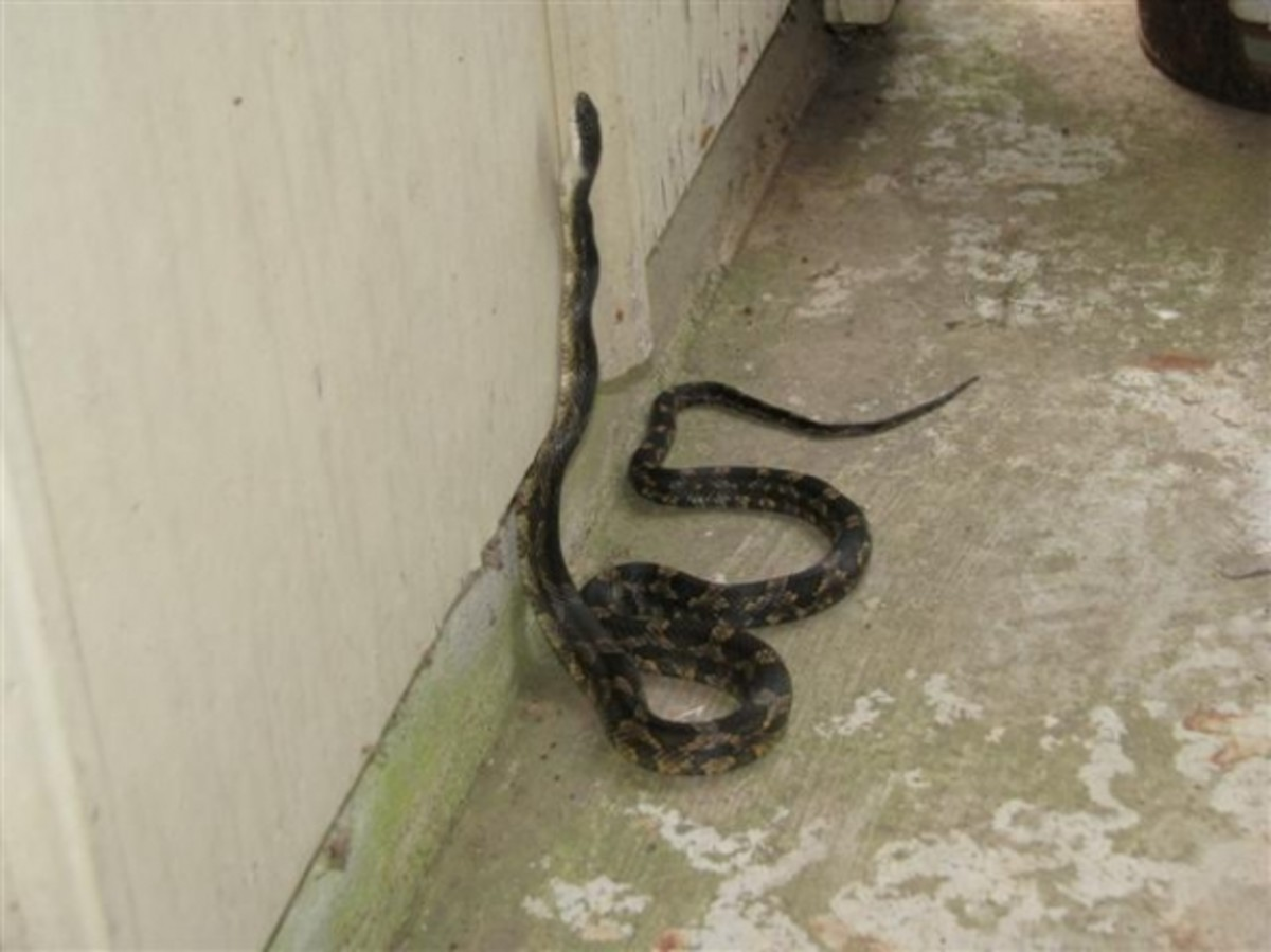 Rat Snake climbing a wall. This Texas Rat Snake demonstrates the climbing ability of the species. Rat Snakes can suspend over one third of their body in the air.