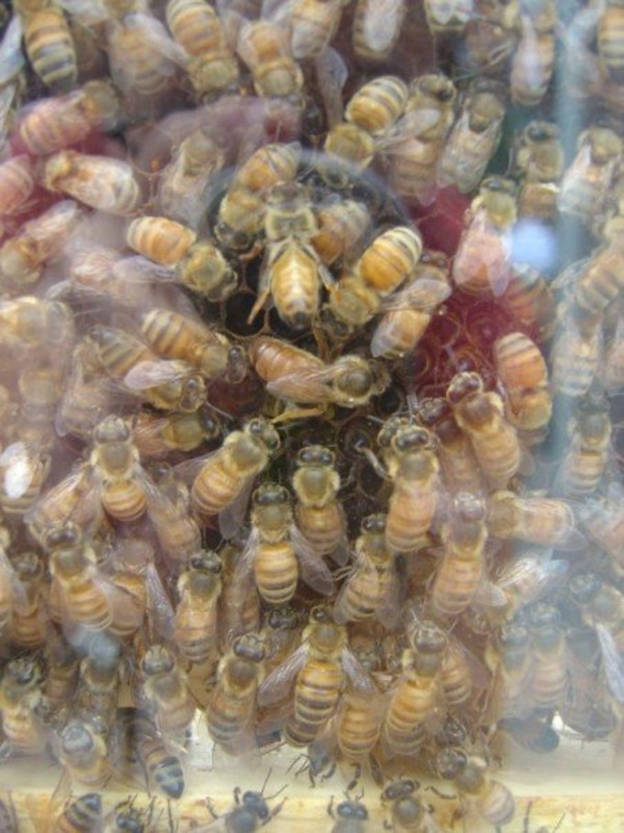 A photo I took of the queen bee. She is surrounded by nurse bees, and is laying eggs.