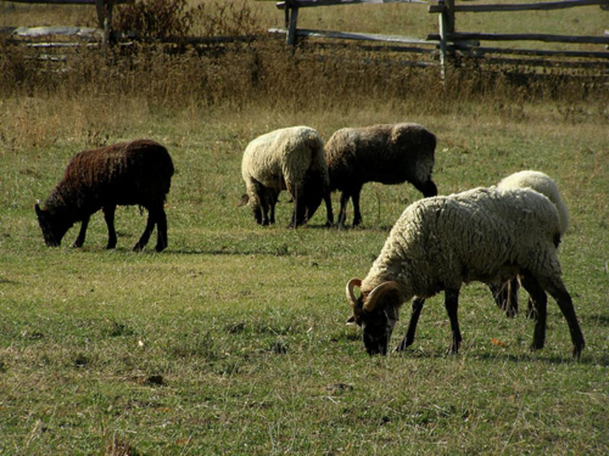 Hog Island Sheep. Photo by valeehill.