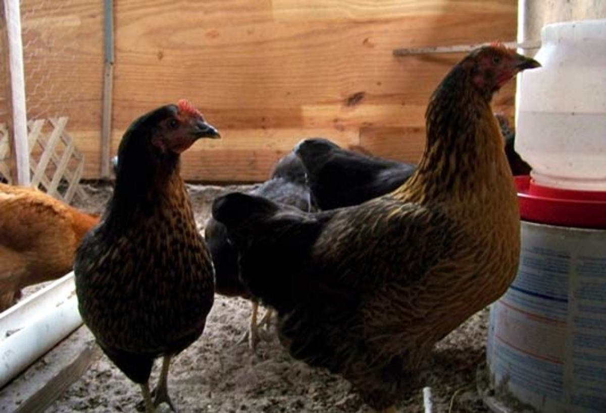 Black star pullets