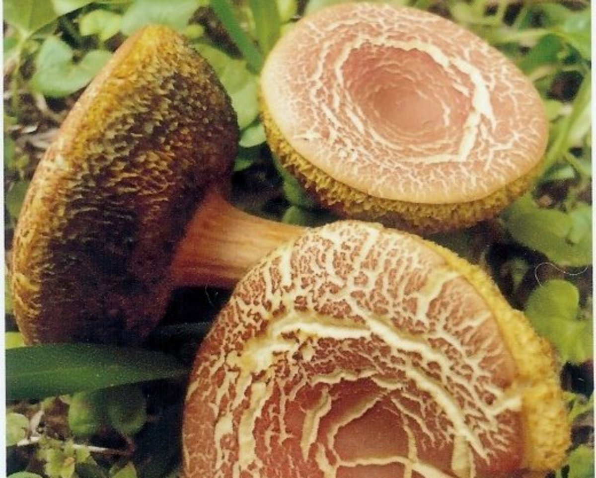 Pictures of Wild Mushrooms and Fungus | Owlcation