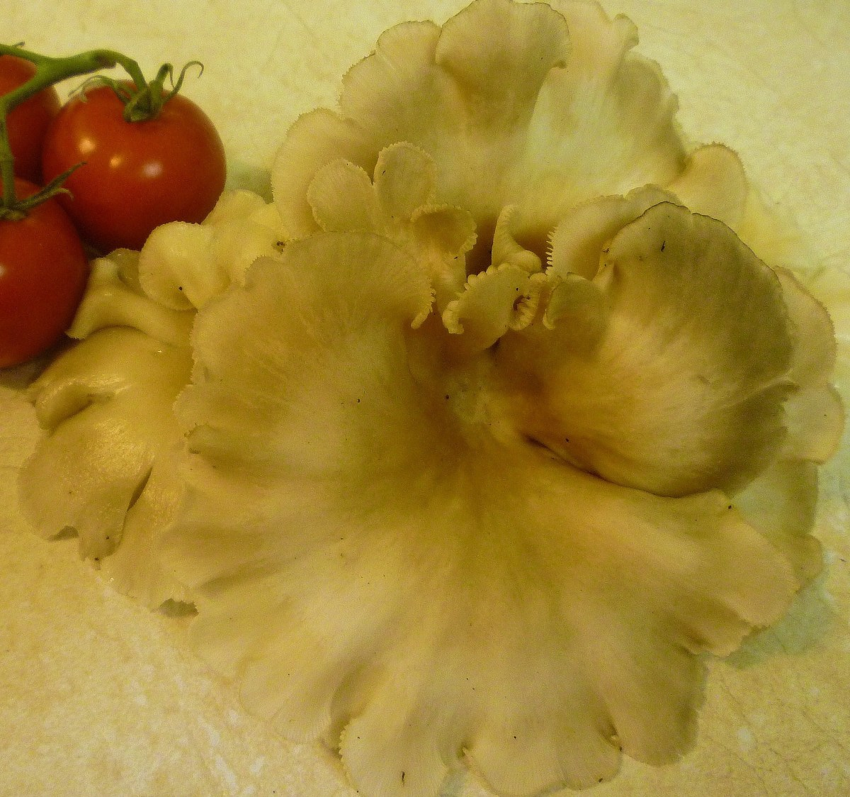 Displayed next to some Campari tomatoes so that the size of this large mushroom can be appreciated