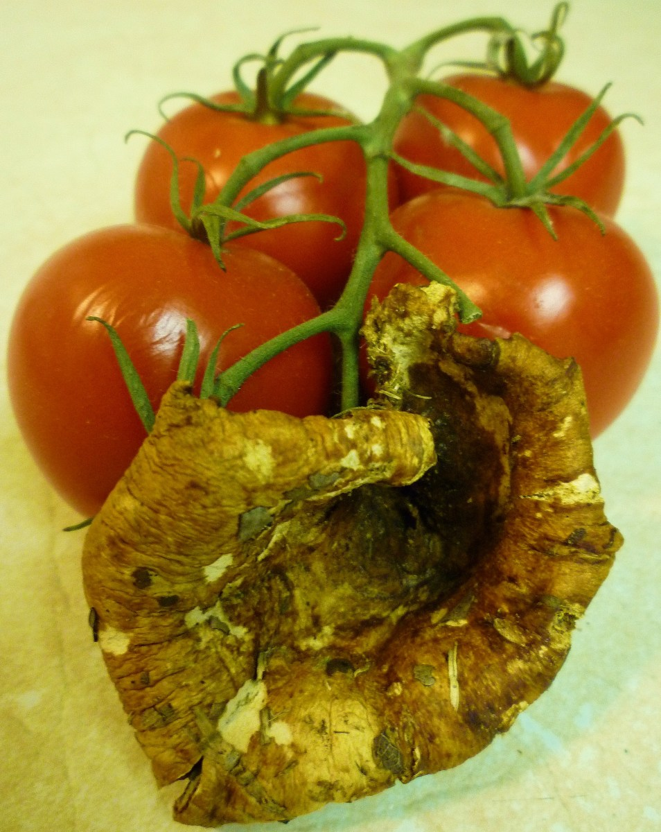 This cup shaped mushroom picked days earlier (in July of 2010) had already hardened and dried. Same campari tomatoes for reference as to size