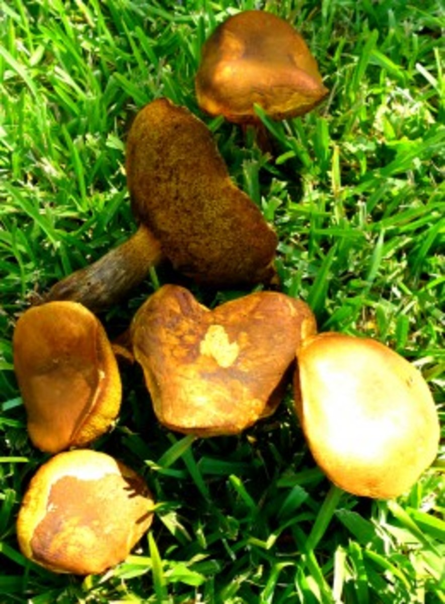 Same batch of mushrooms as the previous one. Unusual mottling of colors and shapes!