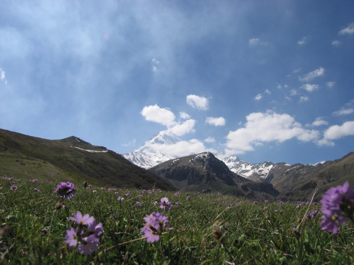 Wildflowers in the Caucasus, Mount Kazbek, Georgia