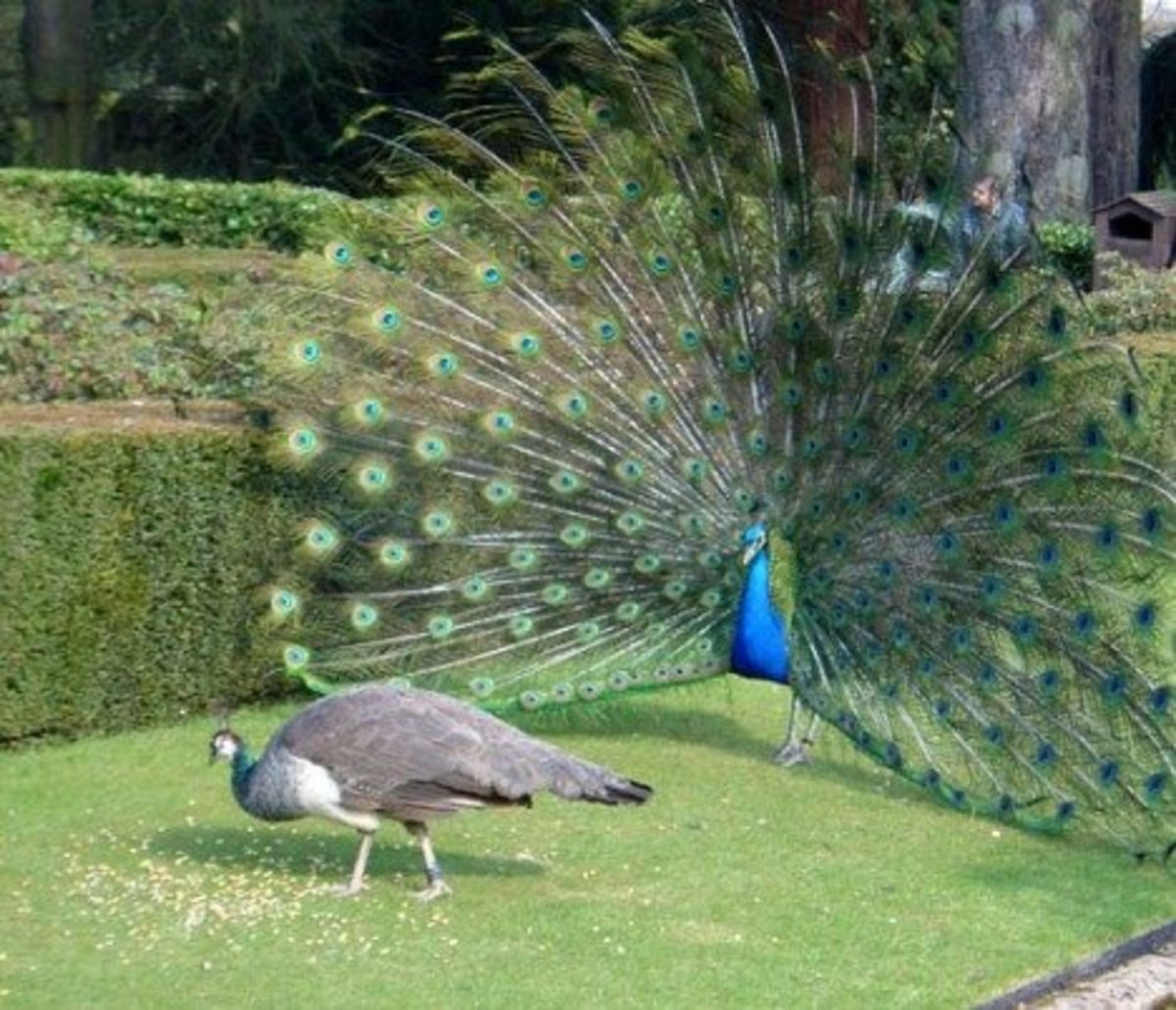 Male and Female Peacocks.