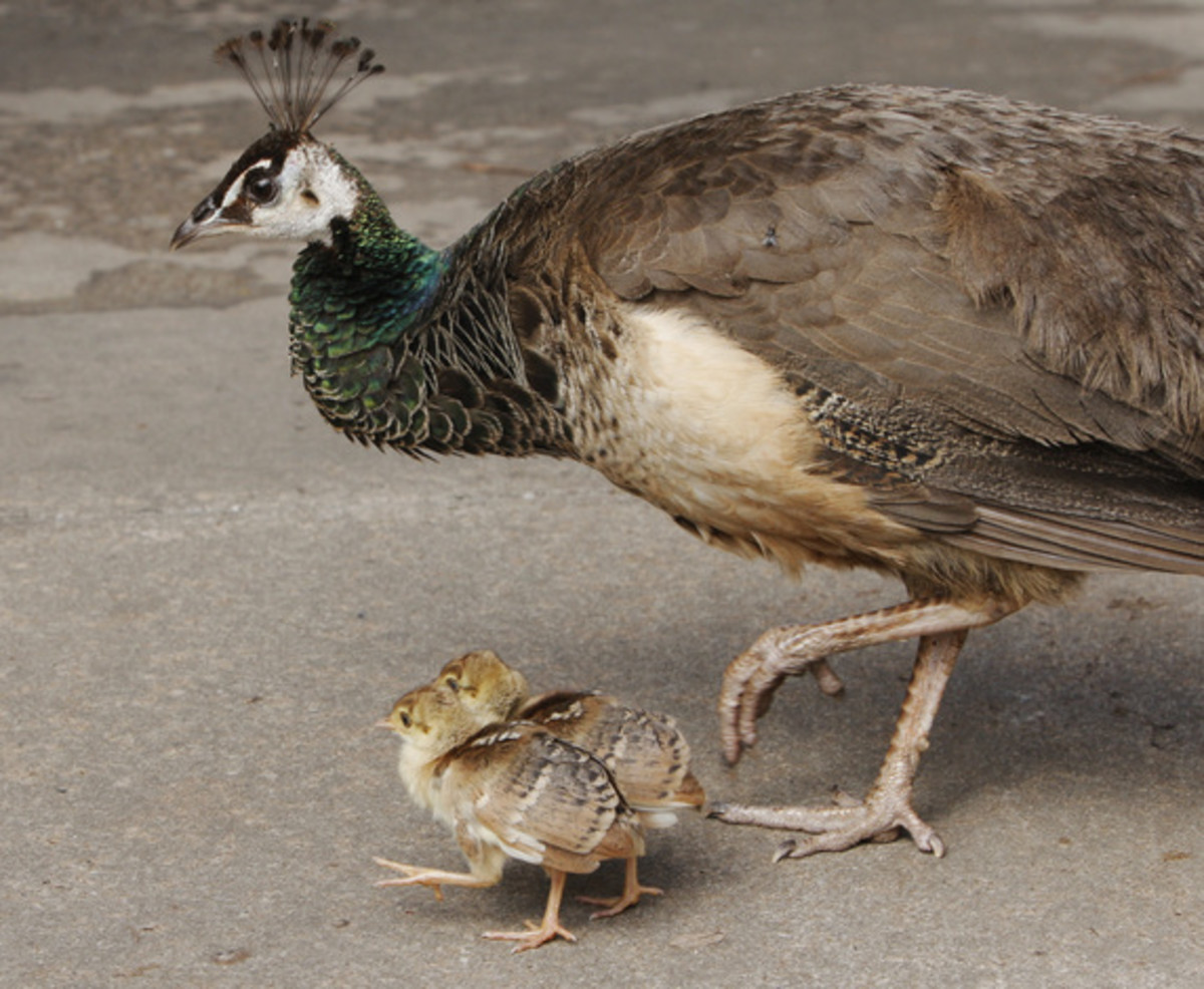 A Peahen With Two Peachicks.